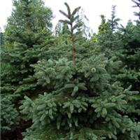 Jasika Drvo